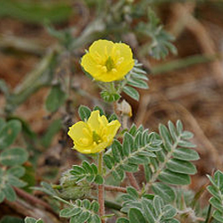 Tribulus alatus fruit